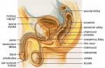 Pohlavní orgány muže
